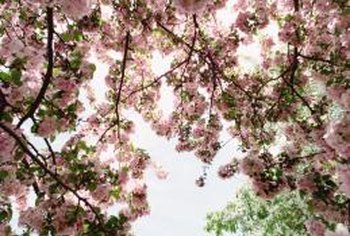 Flowering cherries are usually various shades of pink.
