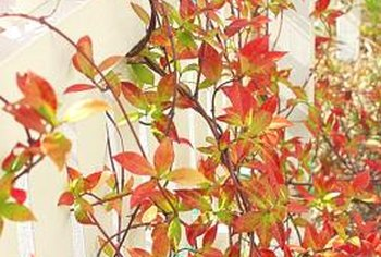 Parthenocissus vines stand out for their brilliant fall colors.