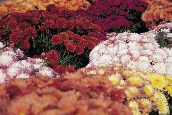 Solid and bicolor cushion mums show their fall colors.