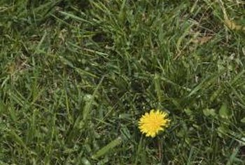 Killing young dandelions helps prevent them from spreading seeds.