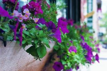 Wave petunias are a good choice for flower boxes.