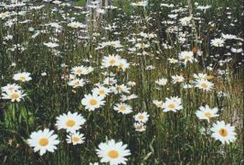 English daisies germinate equally well indoors or outdoors.