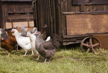 Chickens naturally consume grass, weeds and bugs found while roaming free.