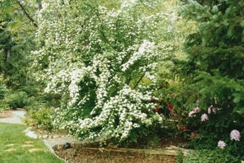Shape hawthorn shrubs into hedges, or let them grow naturally with irregular-length branches.
