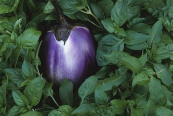 The beauty of the fruit makes the efforts to grow eggplant worthwhile.