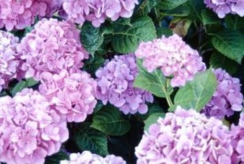 Bigleaf or French hydrangeas produce large clusters of showy flowers.