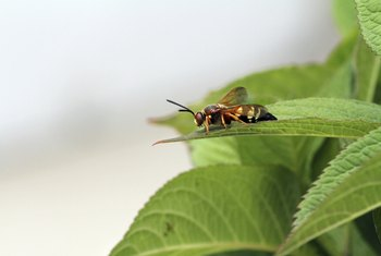 Cicada killer wasps help reduce the annoying drone of cicadas.
