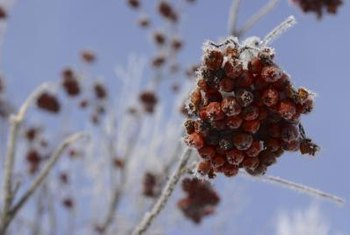 Berries make mountain ash appealing to birds and other wildlife.