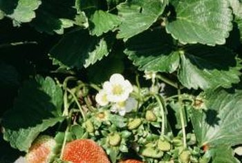 Delicate strawberry flowers turn into delicious fruit.