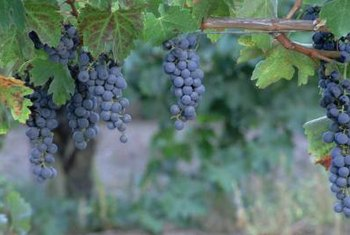 """Concord"" grapevines will benefit from regular pruning throughout the growing season."