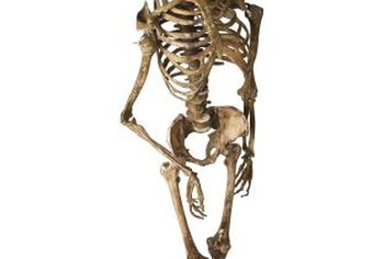 The human body has over 200 bones with a variety of anatomical features.