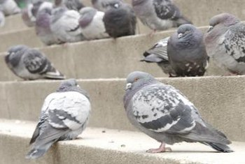 Pigeons will eat almost anything, including garbage.