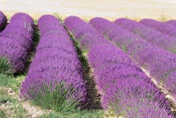 Grow lavender as a perennial or small shrub.