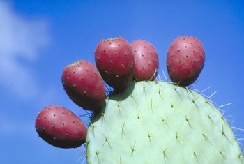 Fruits of the prickly pear cactus are purple, red or yellow when ripe, depending on the variety.