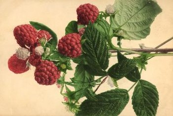 Healthy raspberry plants have crisp green leaves.
