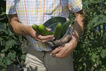 Cucumbers are fast-growing vines that thrive in sunny locations.