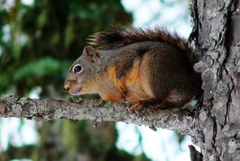 Squirrels can damage trees and the plants growing on them.
