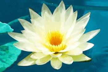 Lotus flowers are pretty, but will grow more lotus plants that take over your pond.