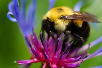 Endangered bumblebees are a vital part of the food chain.