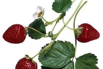 Productive strawberry plants require healthy soil.