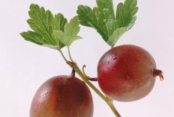 Gooseberries are larger than currants and are red or yellowish-green.