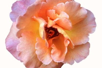 Many different kinds of roses feature ruffled petal edges.