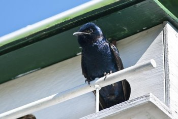Purple martins are beneficial because they eat large quantities of insect pests.