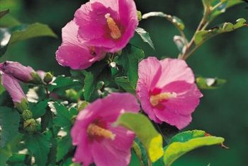 Hollyhocks produce multiple blossoms along tall flower spikes.