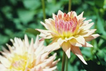 Chrysanthemums are among the many perennials that can tolerate alkaline soil.
