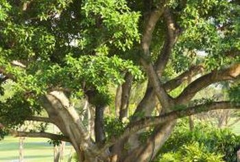 Gnarled fig tree branches add interest to landscapes.