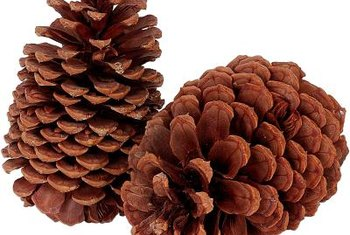 Gymnosperms are cone-bearing plants and do not enclose thier seeds in fruit.