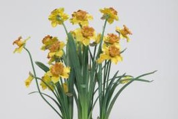 Multiple bulbs can grow in one pot.