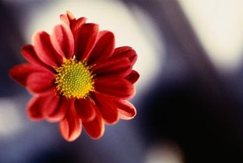 Red painted daisies make attractive cut flowers.