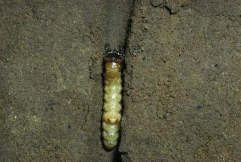 Moles prefer grubs and larvae to tree roots.