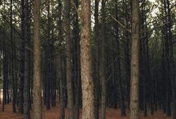 Although generally hardy, pine trees can be weakened or killed by diseases and pests.