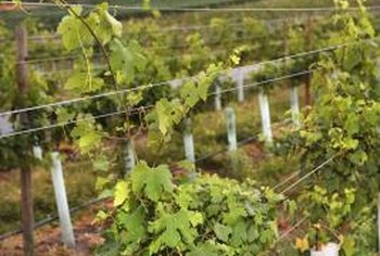 Properly pruned grape vines are healthier and more productive.