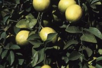 Lemon trees grow in areas that are protected from frost.