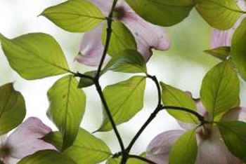 Large, lush foliage demonstrates a properly fertilized dogwood tree.