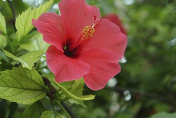 What Are The Causes Of Hibiscus Leaves Turning Yellow Falling Off Home Guides Sf Gate