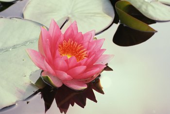 Increase your supply of flamboyant water lilies by growing some from seed.