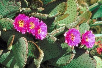Succulents like cacti are drought-resistant because they can store water.
