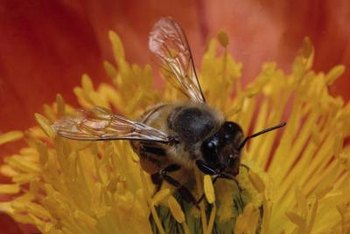 Bees can be innocent victims of insecticides.