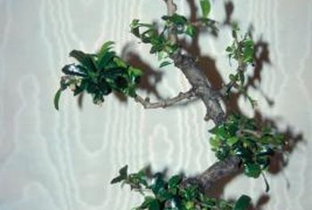 A fukien tea tree makes an excellent bonsai.