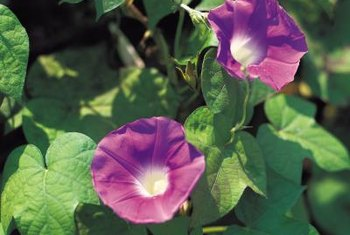 Purple is one of the many colors of morning glory.