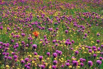 Purple owl's clover can cover large areas when winter rains are plentiful.