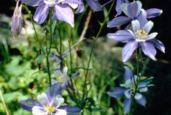 Columbines are often featured in wildflower gardens.