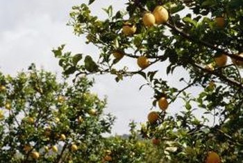 Most lemon trees recover after frost.