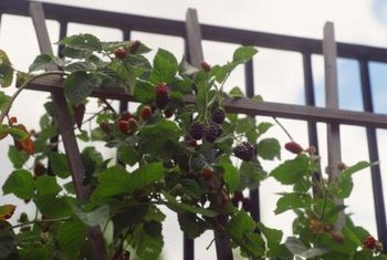 Trellis thornless blackberries to keep the plants healthy and harvests easy.