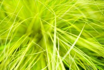 Colorful ornamental grass works well in perennial borders or as ground covers.