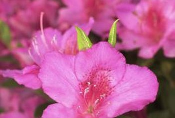 Adjust soil pH with agricultural sulfur to lower the pH for growing azaleas.
